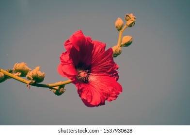 Red hollyhock flower blossom in the park. Althaea rosea, a species native to Asia brought by Turks to Europe. It is cultivated due to its special ornamental qualities and therapeutic properties.