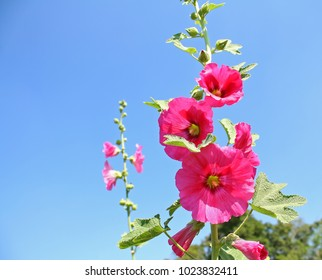 Red Hollyhock flowers on  blue sky