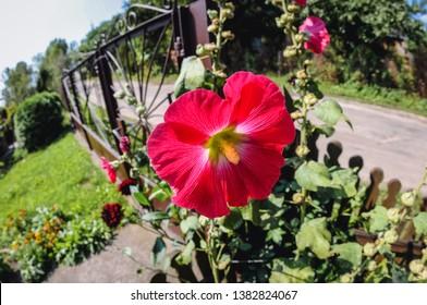 Red hollyhock in a small summer hosue garden in village in Masovia region of Poland