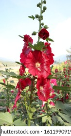 red hollyhocks flowers.Planted in gardens in the north of Thailand.