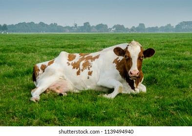 A red holstein cow rests in a green pasture in the northern area of the Netherlands