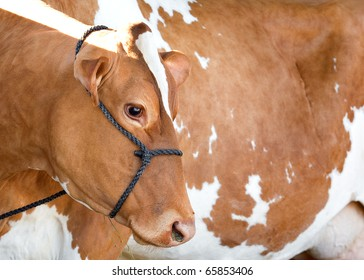 A red Holstein Friesian dairy cow profile and body.