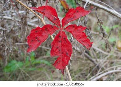 Red Horse Chestnut leaf in Autumn/Fall. Aesculus hippocastanum. Southern Minnesota