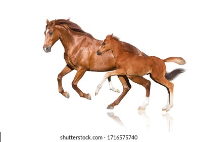 Red horse and red foal run gallop isolated on white background