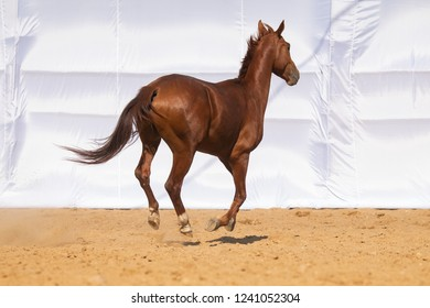 Red Horse gallops through the sand into the pen, without people.