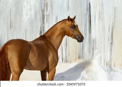 Red horse look back in white winter on iced snowy background isolated