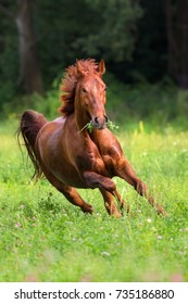 Red horse run fast on spring meadow