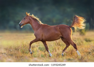 Red horse run trot in sunlight