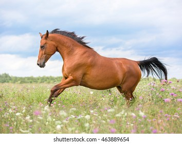 Red horse running free in summer meadow.