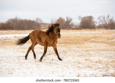 Red horse running in the snowy field on a winter day