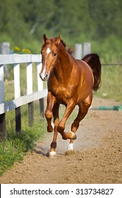 Red horse runs gallop on the pasture, summer