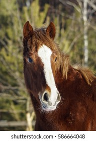 red horse with a white blaze on his head standing on the snow in winter in paddock