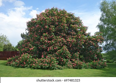 Red horse-chestnut (Aesculus x carnea 'Briotii') is a hybrid between A. pavia (red buckeye) and A. hippocastanum (horse-chestnut). This tree is about 10 meters (33 feet) high and of of unusual growth.