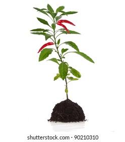 plante rouge de piment rouge avec feuilles sur fond blanc