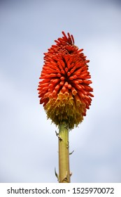 Red hot poker flowers ( Kniphofia reflexa) at Cadnant Hidden gardens near menai Bridge on Anglesey.