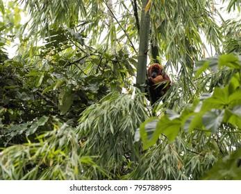 Red Howler Monkey, Alouatta Seniculus, Amazon River Napo, Yasuni National Park, Ecuador