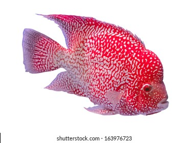 red hump head fish isolated on white background
