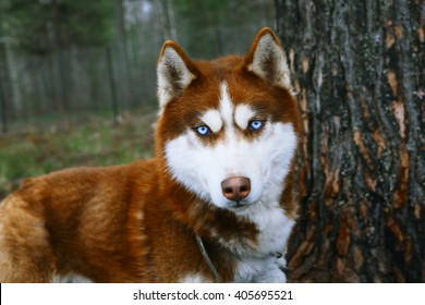 Red Husky - Dog with blue eyes.