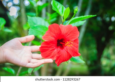 Red hybrid Hibiscus Rosa-Sinensis flower, also known as Chinese hibiscus, China rose, Hawaiian hibiscus and shoeblackplant. Beautiful single Chinese hibiscus' red flower on blurred background