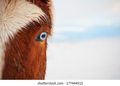 A red icelandic pony with blue eyes. A closeup of the left eye against  white winter backdrop. Taken in Iceland.