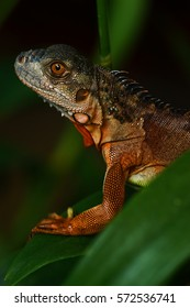 Red Iguana on Green leaves