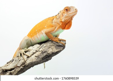 A red iguana (Iguana iguana) is sunbathing on weathered wood.