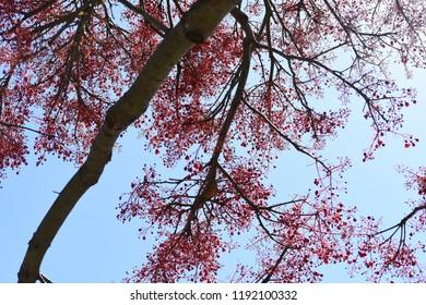 Red Illawarra Flame tree against blue sky closeup colour contrast