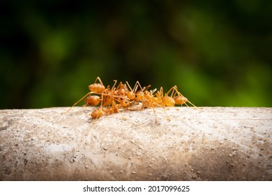Red Imported Fire Ant, close up of insect in nature