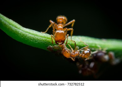 Red imported fire ant,Action of fire ant