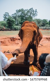 red indian elephant takes food from the hands of a child on a background of red earth
