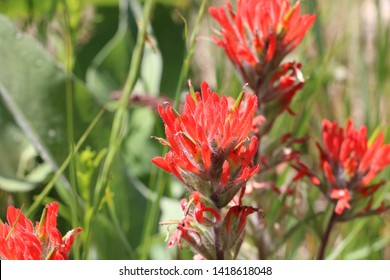 Red Indian Paintbrush blooms in the foothills of the Wasatch range near Salt Lake City, Utah in early summer