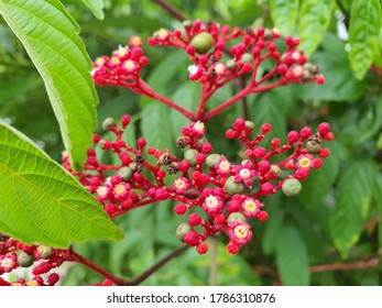 Red inflorescences of the stang or Leea rubra.