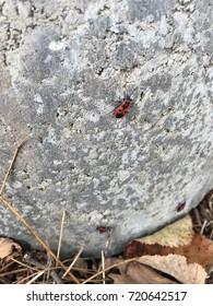 Red insect, pyrrhocoris apterus, firebug