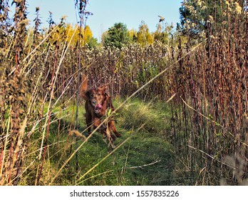 Red Irish setter chasing a pheasant