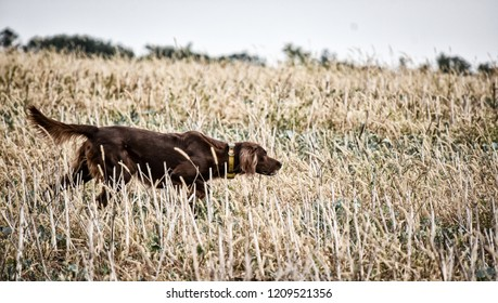 Red irish setter dog in field. Point a bird.