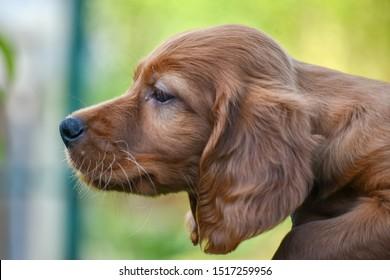 Red irish setter dog head portrait on nature