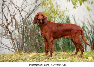 Red Irish Setter puppy in the autumn