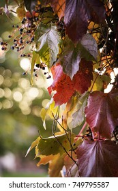 Red, ivy leaves on the side of a house with the sun shining through on a fall day.