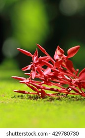 Red ixora coccinea flowers on a mossy surface