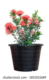 Red Ixora flower bloom in black plastic pot isolated on white background.