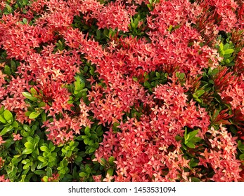 Red Ixora flowers group and green leaf
