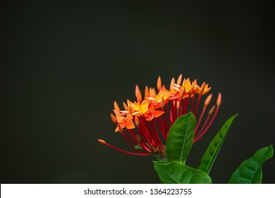 Red ixora with leaves and copy space on top left and blur background.