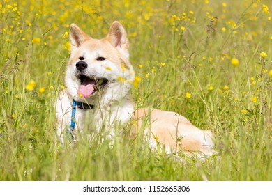 Red japanese akita down and smile in flowers
