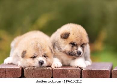 Red japanese akita, akita inu, puppies walks outdoor at park