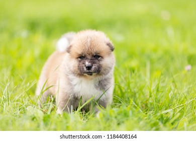 Red japanese akita, akita inu, puppy walks outdoor at park