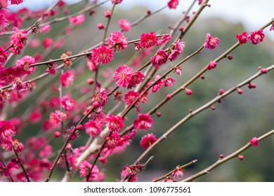Red Japanese apricot blossom