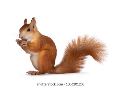 Red Japanese Lis squirrel, sitting side ways, holding a hazel nut in front paws and eating from it. Tail up. Isolated on white background.