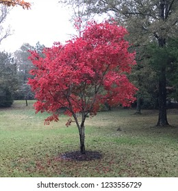 Red Japanese Maple in Fall