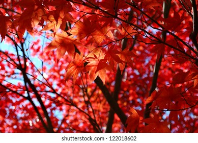 Red Japanese Maple Foliage / Photo of red autumn leaves of Japanese maple, Canada