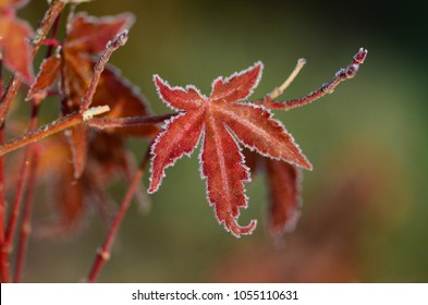 Red Japanese Maple Leaf Rimmed in Frost